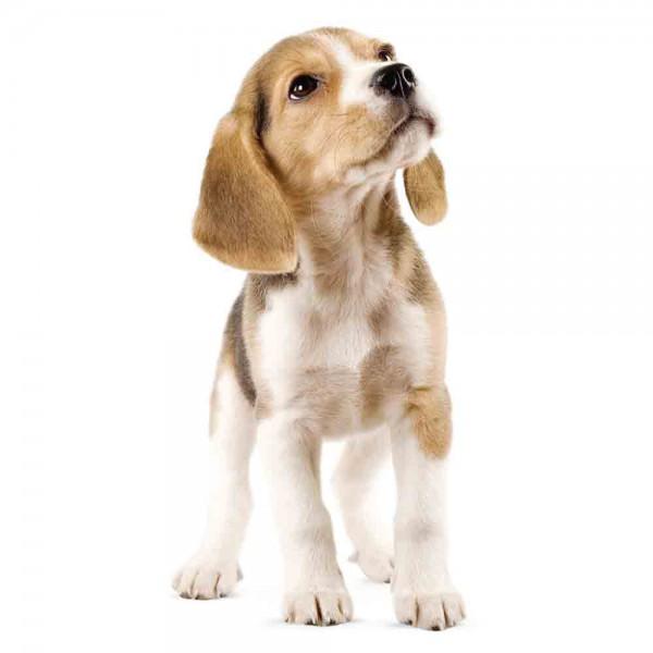 Kek Amsterdam Wandsticker Welpe Beagle