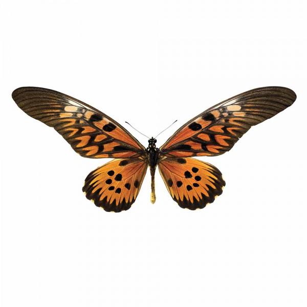 Kek Amsterdam Wandsticker Schmetterling 951